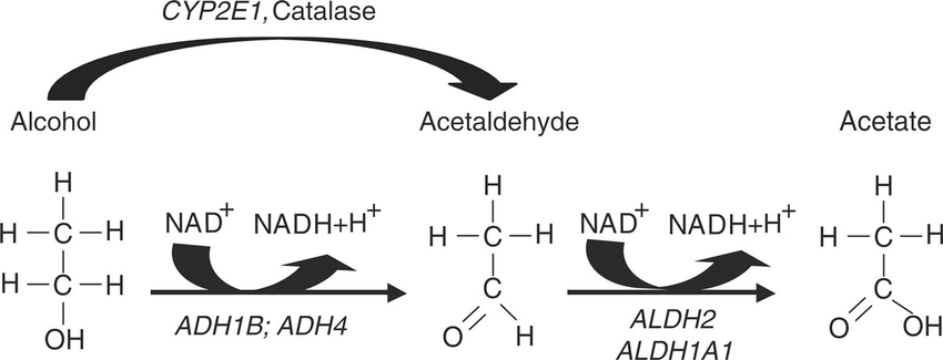 Alcohol-metabolism-Ethanol-is-converted-to-acetaldehyde-by-alcohol-dehydrogenase-ADH.png